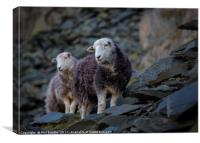 Herdwick Sheep At Honister Pass, Canvas Print