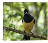 South American Crested Jay, Canvas Print
