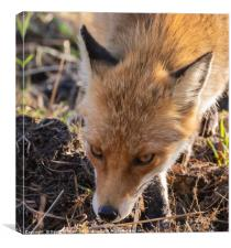 Wild Red Fox , Canvas Print