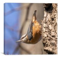 Nuthatch in typical pose, Canvas Print