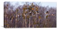 Greylag Geese in flight, Canvas Print