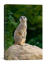 Meercat Sentry, Canvas Print