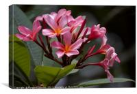 Pink Frangipani blooms and buds , Canvas Print