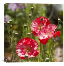 Red poppies , Canvas Print