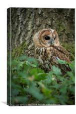 Tawny Owl on the look out, Canvas Print