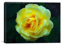 Early Morning Rose (Rosaceae), Canvas Print