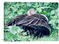 Mother Sheltering Chicks, Canvas Print