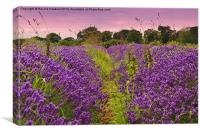 A Norfolk Lavender Field (Lavandula), Canvas Print
