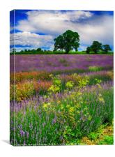 A Lavender Field in Somerset                      , Canvas Print