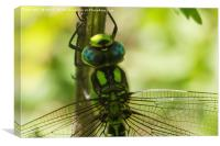 Southern Hawker, Canvas Print