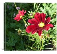 Red Cosmos, Canvas Print