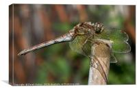 Dragonfly Resting, Canvas Print