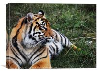 Tiger in the grass, Canvas Print