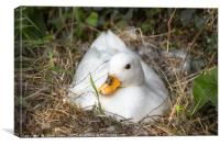 White Call Duck Sitting on Eggs in Her Nest, Canvas Print