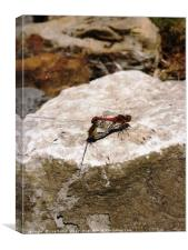 Dragonflies mating on a rock, Canvas Print