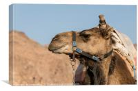 a camel in the desert of israel on the border of e, Canvas Print