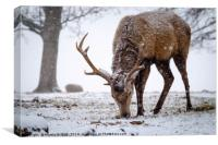 Red Deer Stag in Snow, Canvas Print