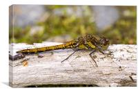 Common Darter dragonfly female, Canvas Print
