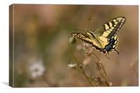 Swallow Tail, Canvas Print