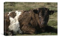 Galloway Shetland cross cow, Canvas Print