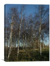 Silver Birch Trees, Canvas Print