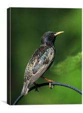 Spotted Starling, Canvas Print