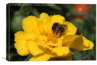 Common Bee, Canvas Print