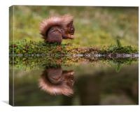Red Squirrel eating a nut., Canvas Print