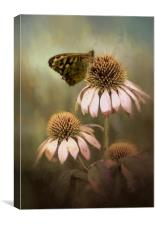 Butterfly on Echinacea, Canvas Print