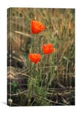 Three poppies in a field (Papaver rhoeas), Canvas Print