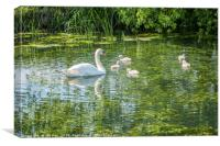 Cygnets first Paddle (2), Canvas Print