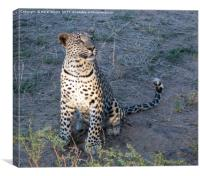 Leopard cub watching, Canvas Print