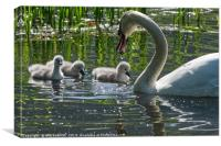 Young Cygnets taking their first swim , Canvas Print