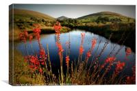 Montbretia In the Mourne Mountains, Canvas Print