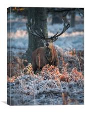 Frosty Stag, Canvas Print