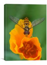 Hover on Yellow Flower, Canvas Print
