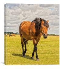 New Forest Bay Pony, Canvas Print