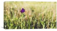 Field of purple flowers, Canvas Print