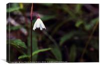 Acis autumnalis with water drops by morning dew, Canvas Print