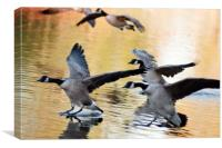 Canada geese landing at sunset, Canvas Print