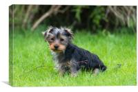 A Yorkshire Terrier puppy, Canvas Print