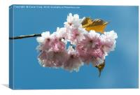 Cheery Blossom close Up , Canvas Print