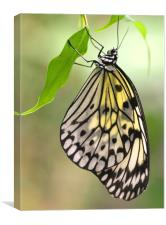 Tree Nymph Butterfly, Canvas Print