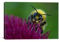 Bumbling Around, Canvas Print