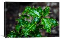 Holly with water drops by Clive Wells, Canvas Print