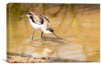 Avocet sieving for food, Canvas Print