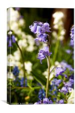 Bluebells in spring No. 2, Canvas Print