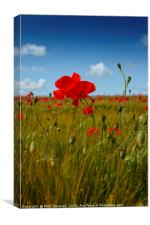 Poppies in the summer sunshine. No. 2, Canvas Print