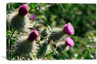 The Scottish Thistle., Canvas Print
