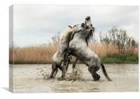 Stallions play fighting Carmargue, Canvas Print